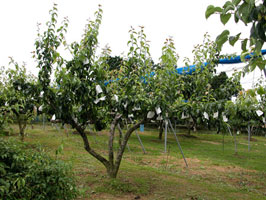 Nashi A Japan Korte Pyrus Pyrifolia