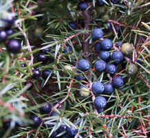 http://www.terebess.hu/tiszaorveny/vadon/juniperus_communis3.jpg