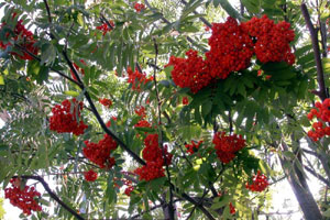 Az európai hegyi kőris termesztése - Sorbus aucuparia